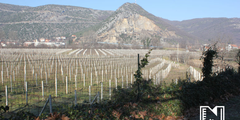 Vinograd Barbarić slika 10