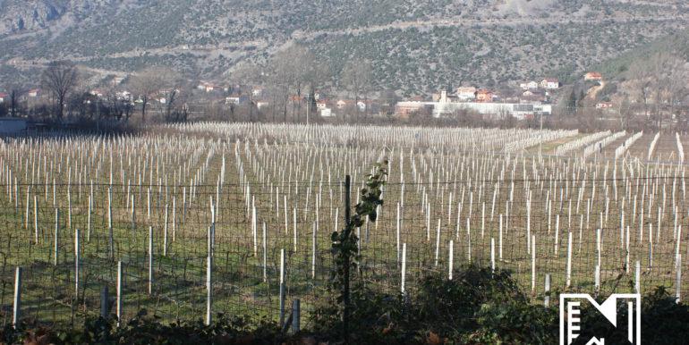 Vinograd Barbarić slika 15