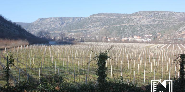 Vinograd Barbarić slika 16