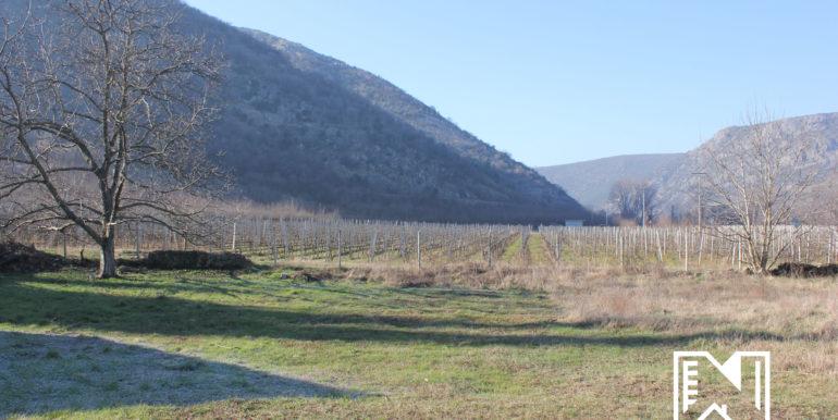 Vinograd Barbarić slika 24